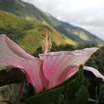 Hibiscus, Blue Mountain Background